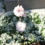 2012年の花桃