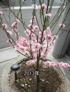 2013年の花桃