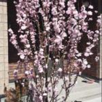2014年の花桃