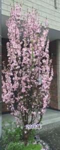2016年の花桃