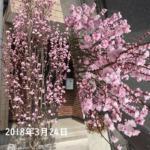 2018年の花桃